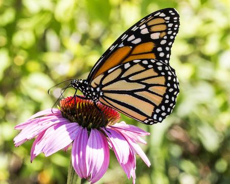 Monarch butterfly on a coneflower.
