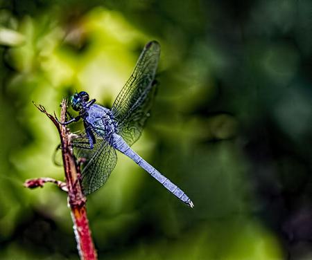 Blue Dasher Banco de Imagens - 91204097