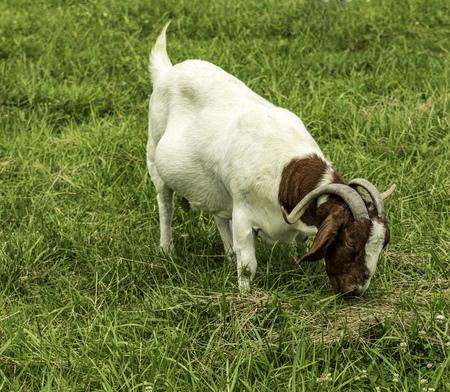 Boer goat grazing.