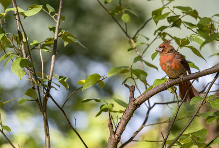 Males northern cardinal moulting,