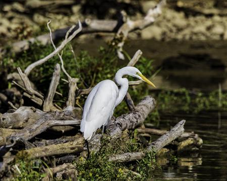 Great White Egret Imagens
