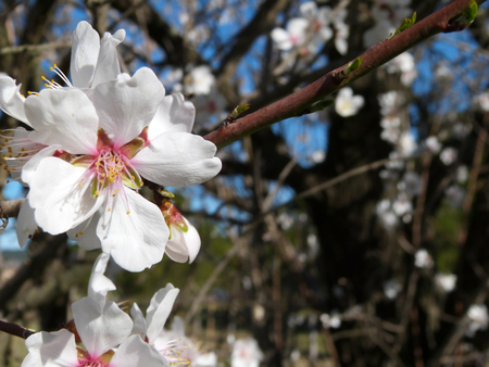 Almond spring, white and pink flowers on branches Stock Photo