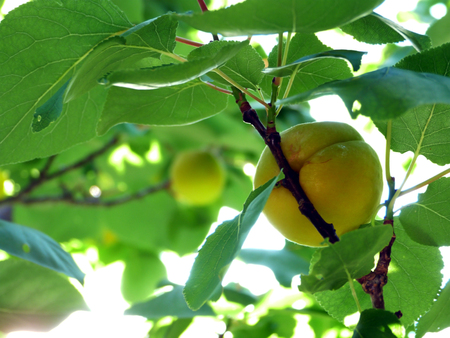 Natural untreated apricots
