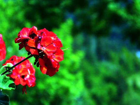Fleur rouge avec fond de montagne