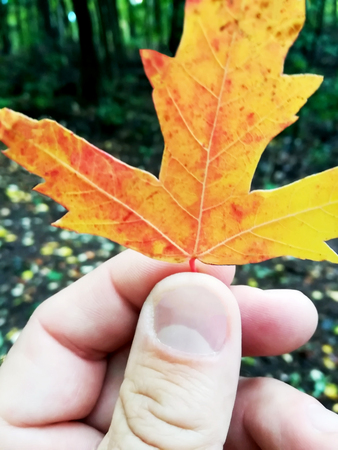 Autumn maple leaf held in one hand