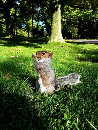 A squirrel eating a walnut Stockfoto