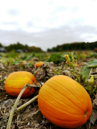 Pumpkins in a field ready to be picked up