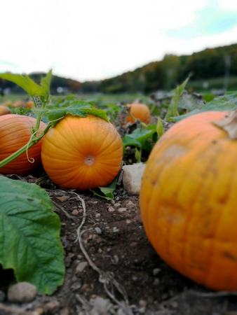 Pumpkins in a field near to be picked up