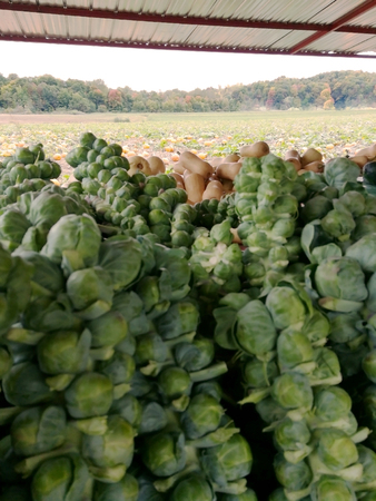 Cabbage, squash and pumpkin fields in background