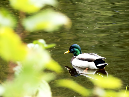 Duck on water in the wild