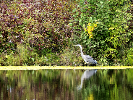 Gray heron in a natural place