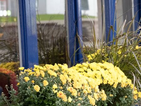 Flowers in front of windows with a blue wooden frame Stok Fotoğraf
