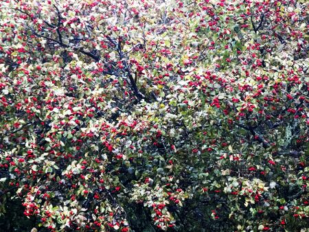 Cranberry fruit tree