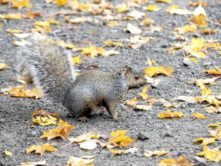 Squirrel during autumn Stockfoto