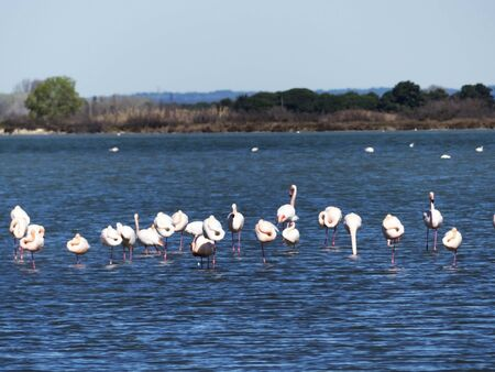 Flamingos in the wild and natural Camargue Stockfoto