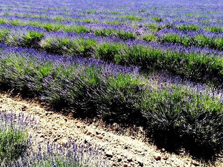Lavender fields in the South
