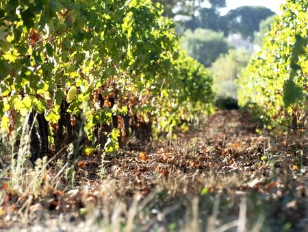 Tillage plantation vine