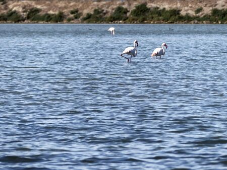 Several flamingos in the water