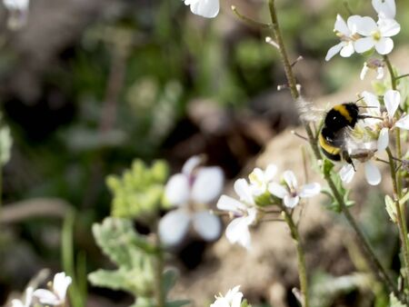 Bumblebee on a white flower