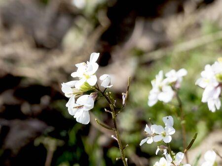White field flower in spring Reklamní fotografie
