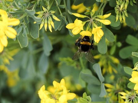 A bumblebee on a yellow flower