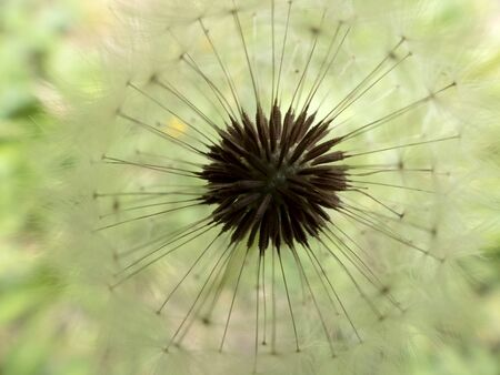 Close-up of a parachute dandelion Stockfoto