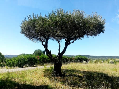 An olive tree in the south