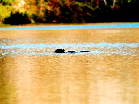 Otter swimming in a river Stockfoto