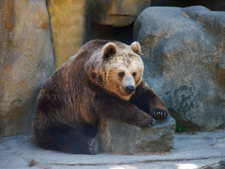 omnivores: a big brown bear paws sitting on a rock Stock Photo