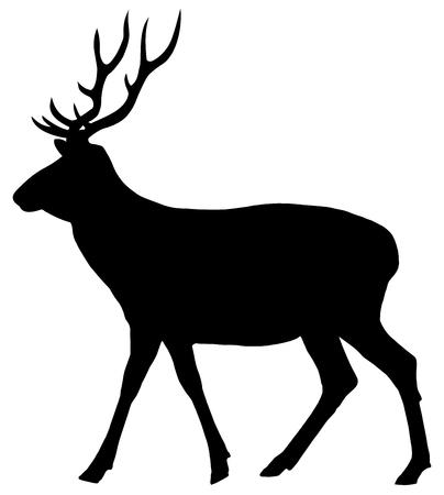 cervidae: a deer walking