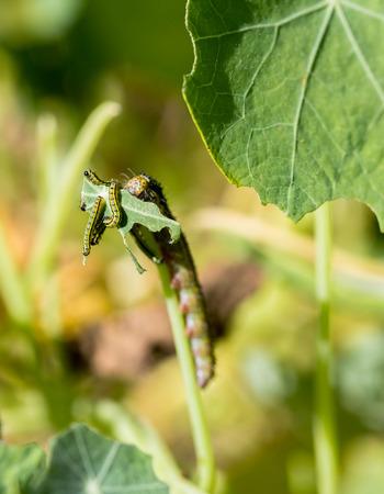 devouring: Caterpillars devouring plants in a garden