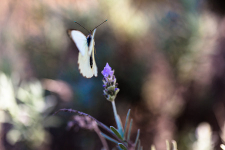 butterfly flying: White butterfly flying after feeding on pollen