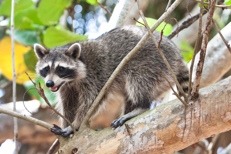 bill baggs: Raccoon in a tree at Bill Baggs State Park Stock Photo