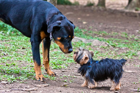 defiance: Rottweiler and Yorkshire face each other in the park