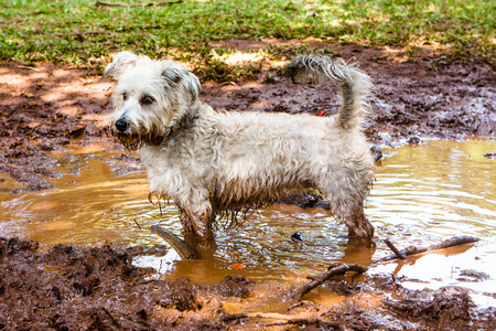 White dog happy playing in the mud
