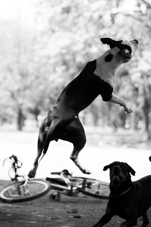 black and white pit bull: Pit bull jumping at Ibirapuera Park, Sao Paulo - Brazil