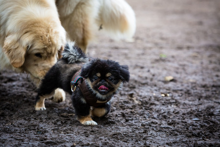 glands: Pekingese puppy being recognized by an adult of the pack