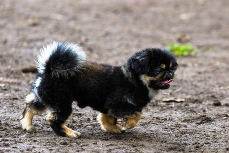 recognized: Pekingese puppy being recognized by an adult of the pack