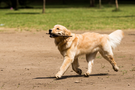 paw smart: Golden Retriever playing with a stick