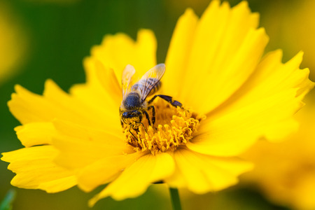 Bee collecting pollen to make honey. Stock Photo