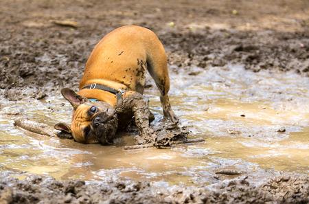 Franse Bulldog met plezier in een modderpoel