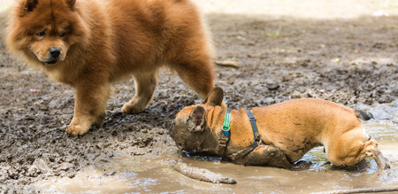 Chow chow looking at a French Bulldog that is sprawled in the mud