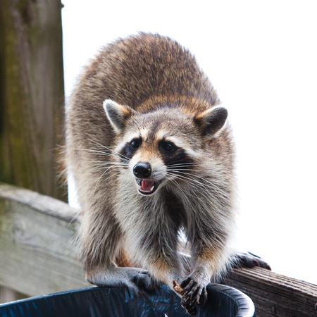 raccoon looking for food in trash can