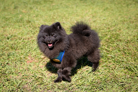 pom: A Black Pomeranian walking in the park Stock Photo