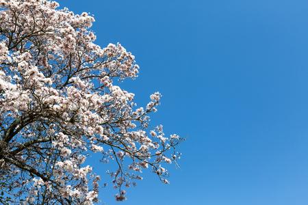 Tabebuia roseo-alba, known as white ipe, ipe-branco or lapacho blanco, is a tree native to Cerrado and Pantanal vegetation in Brazil, Stock fotó - 85679220