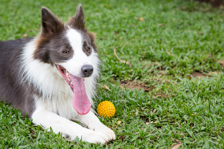 The Border Collie is a working and herding dog breed developed in the Anglo-Scottish border region for herding livestock, especially sheep. It was specifically bred for intelligence and obedience. Stock Photo