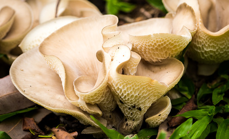 Pleurotus ostreatus, the oyster mushroom, is a common edible mushroom. It was first cultivated in Germany as a subsistence measure during World War Banco de Imagens