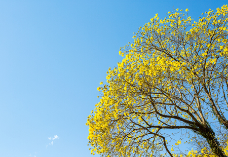 The yellow ipe(Tabebuia vellosoi) is found in all regions of Brazil and has always attracted the attention of naturalists, poets, writers and even politicians. In 1961, the then president Jânio Quadros declared the yellow Ipe, of the species Tabebuia vellosoi, the National Flower. Since then, the yellow flower is the symbol of our country. Stock Photo
