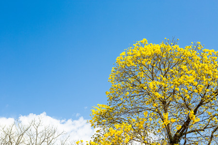 The yellow ipe is found in all regions of Brazil and has always attracted the attention of naturalists, poets, writers and even politicians. In 1961, the then president Jânio Quadros declared the yellow Ipe, of the species Tabebuia vellosoi, the National Flower. Since then, the yellow flower is the symbol of our country.