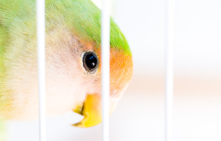 A lovebird is the common name of Agapornis, a small genus of parrot. Eight species are native to the African continent, with the grey-headed lovebird being native to Madagascar.